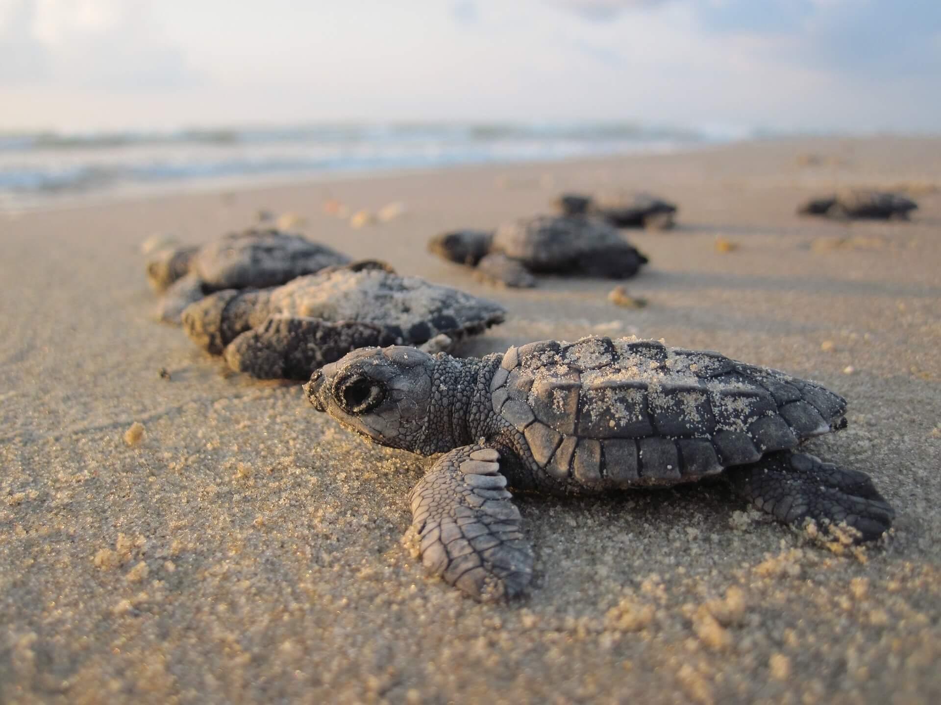 Crías de tortugas marinas se encaminan hacia el mar